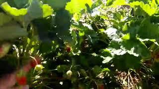 Видео отзыв покупателя рассады в нашем хозяйстве // Купчиха // Ягодный Огород