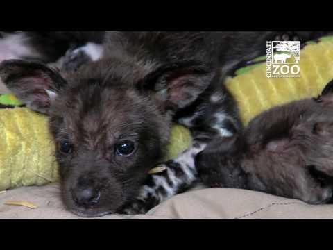 Painted Dog Pups Get Cheesy Names - Cincinnati Zoo