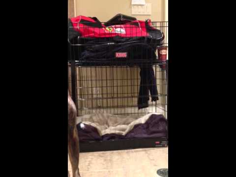 Boxer puppy escapes Cage