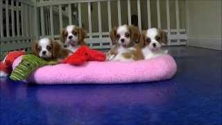 Cute Cavalier King Charles Spaniels Puppies