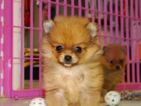 Pomeranian Puppies Dogs For Sale In Jacksonville