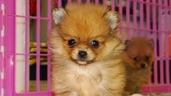 Pomeranian Puppies For Sale In Jacksonville Florida