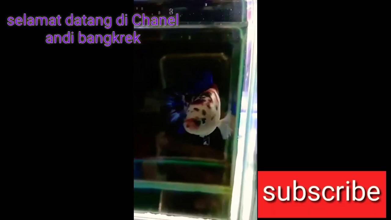 Cupang nemo galaxy/multicolour - YouTube