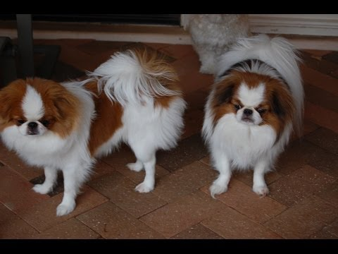 Japanese Chin, Puppies, Dogs, For Sale, In Atlanta, Georgia, GA, Savannah, Sandy Springs, Roswell