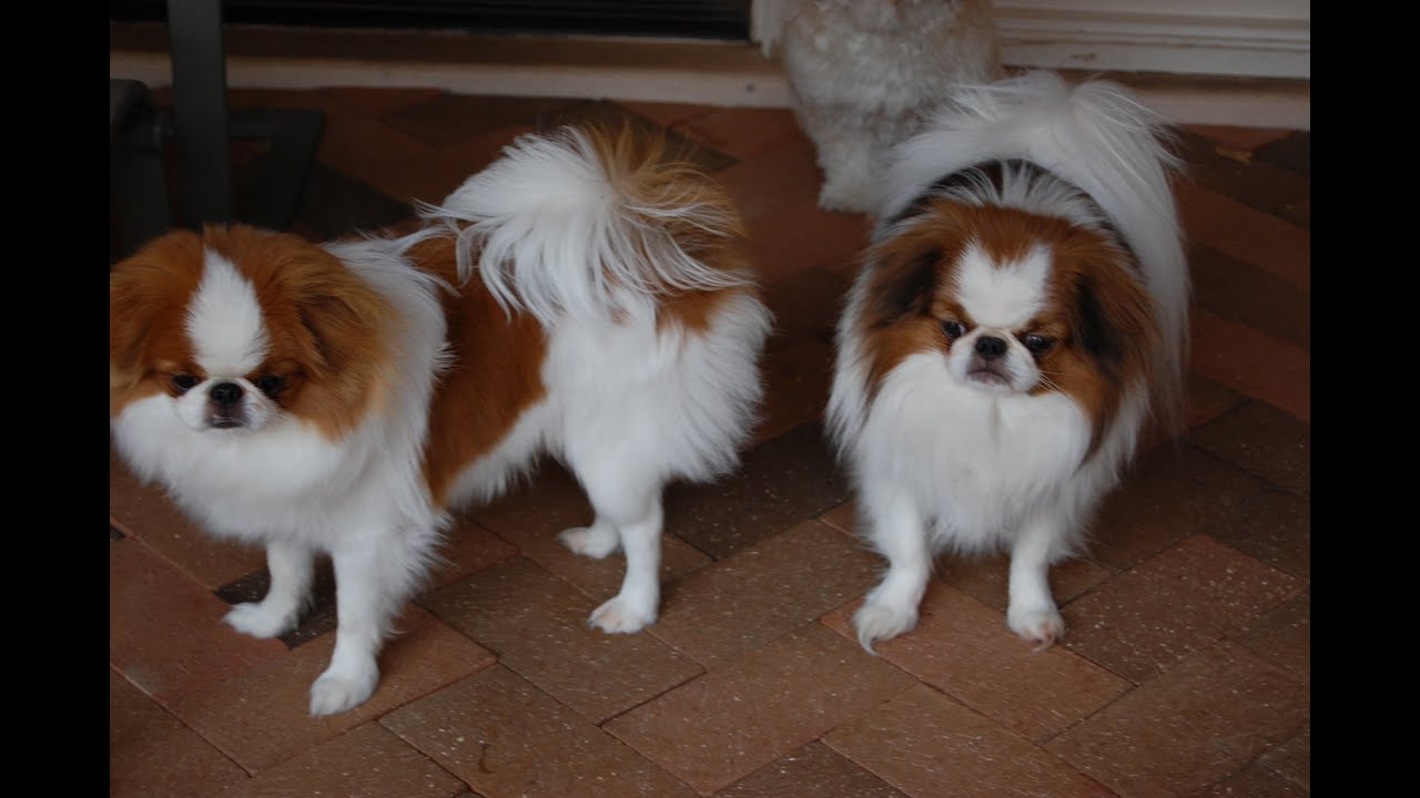 Japanese Chin, Puppies, Dogs, For Sale, In Atlanta, Georgia, GA ...