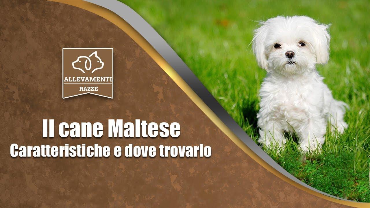 Il Cane Maltese Caratteristiche E Dove Trovarlo Documentario Di Allevamenti Razze
