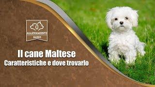 Il cane Maltese - Caratteristiche e dove trovarlo - Documentario di Allevamenti Razze