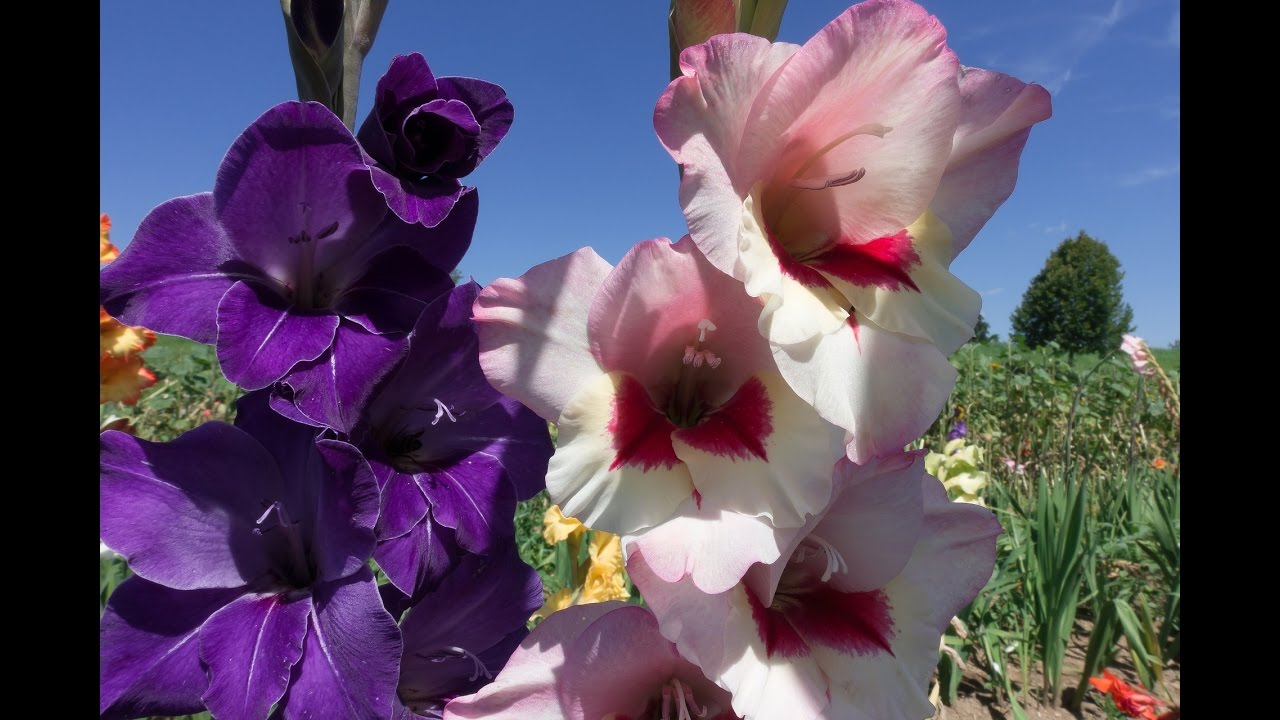Amazing And Most Beautiful Gladiolus Flowers Pictures Youtube