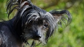 ***How To Potty Train A Chinese Crested Puppy Free-Mini Course***