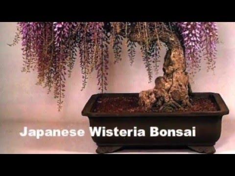Вопрос: Прорастут ли семена бонсай купленные на джуме Как вырастить бонсай?