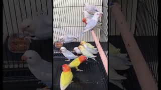 Video LOVE BIRD PALE FALLOW BLUE, PALE FALLOW EUWING, PALE FALLOW PARBLUE,PALE FALLOW GREEN download MP3, 3GP, MP4, WEBM, AVI, FLV Juli 2018