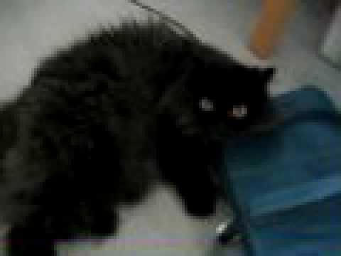 Black Persian Cat Female Cute - YouTube