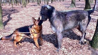 Irish Wolfhound vs.German Shepherd. Meeting in the forest.