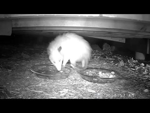 WHITE OPOSSUM - Rare leucistic female Virginia opossum (Didelphis virginiana) 05-21-2015