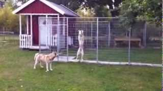 Siberian Husky Escapes