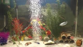 Аквариумные рыбки, видео, барбусы, скалярии, гуппи, сомики