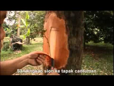 Grafting- Cantuman Dewasa Durian