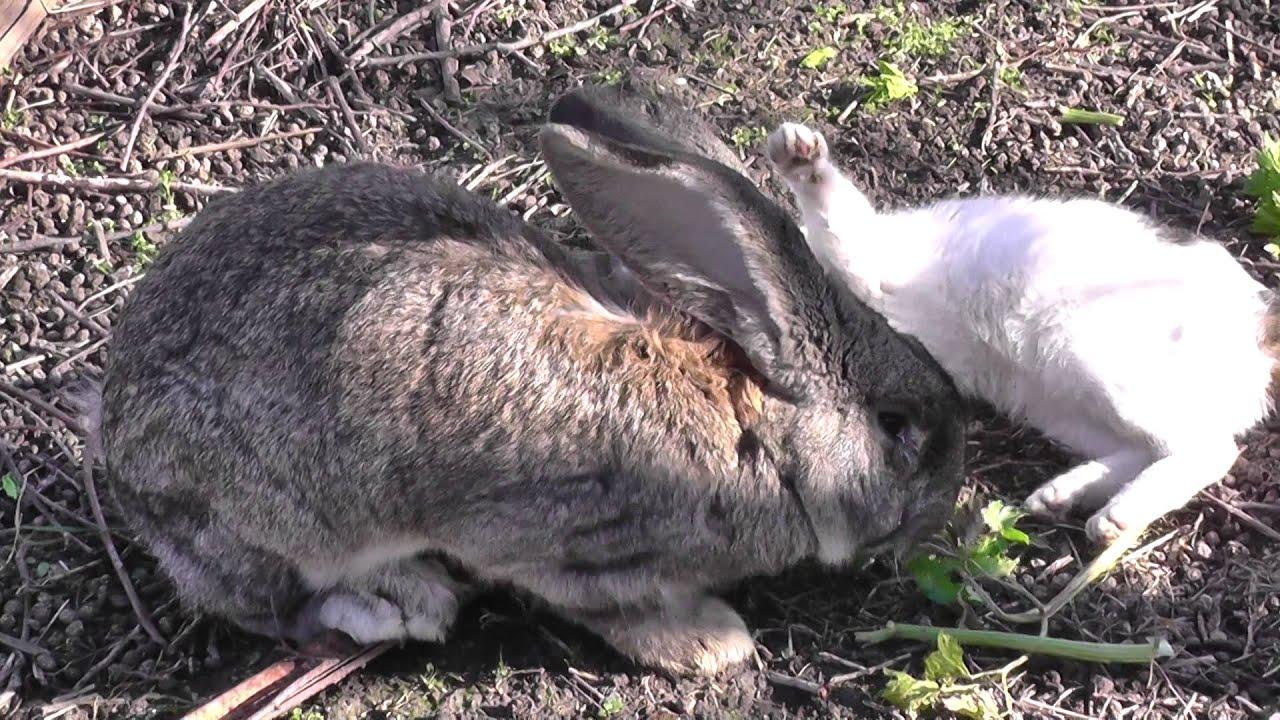 термобелье кролики породы фландр кормление двух