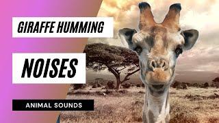 Video The  Animal Sounds: Giraffe Humming - Sound Effect - Animation download MP3, 3GP, MP4, WEBM, AVI, FLV Desember 2017