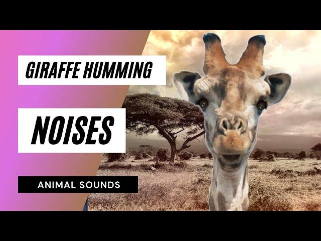 The Animal Sounds: Giraffe Humming - Sound Effect - Animation