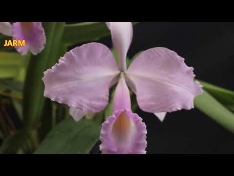 ¿Por qué son tan caras o costosas las orquídeas?