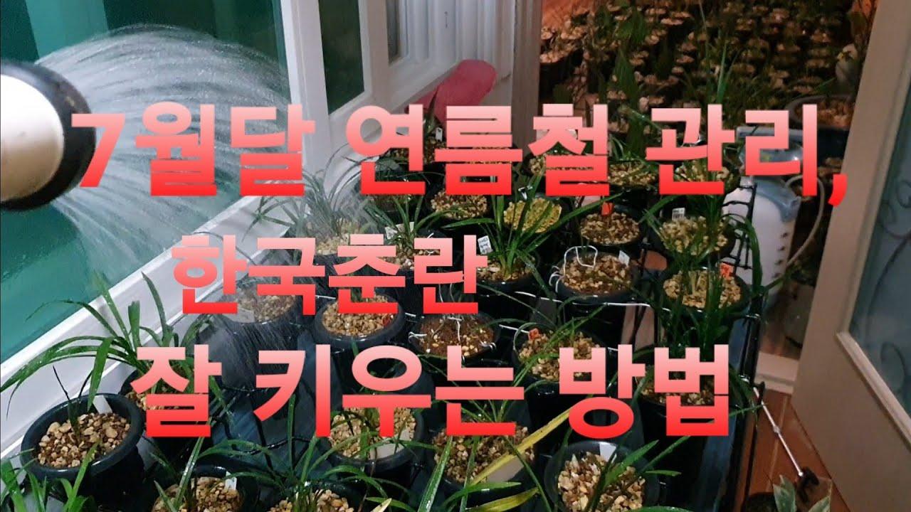 한국춘란 재테크, 여름철 물주기 배양방법~
