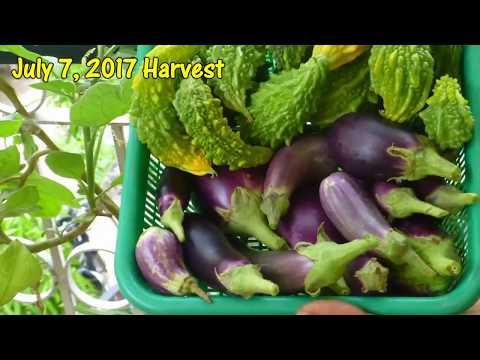 किचेन गार्डेनिंग में सफलता का मंत्र / Kya hai kitchen Gardening me safalta ka mantra?