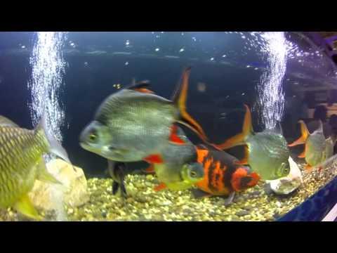 เล่าเรื่องปลา By น้าเดช ตอนที่ 6 วันปลาสวยงามแห่งชาติ ตอนที่ 1