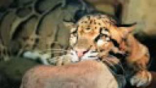 SABERTOOTH TIGER! - Big Cat Camp.