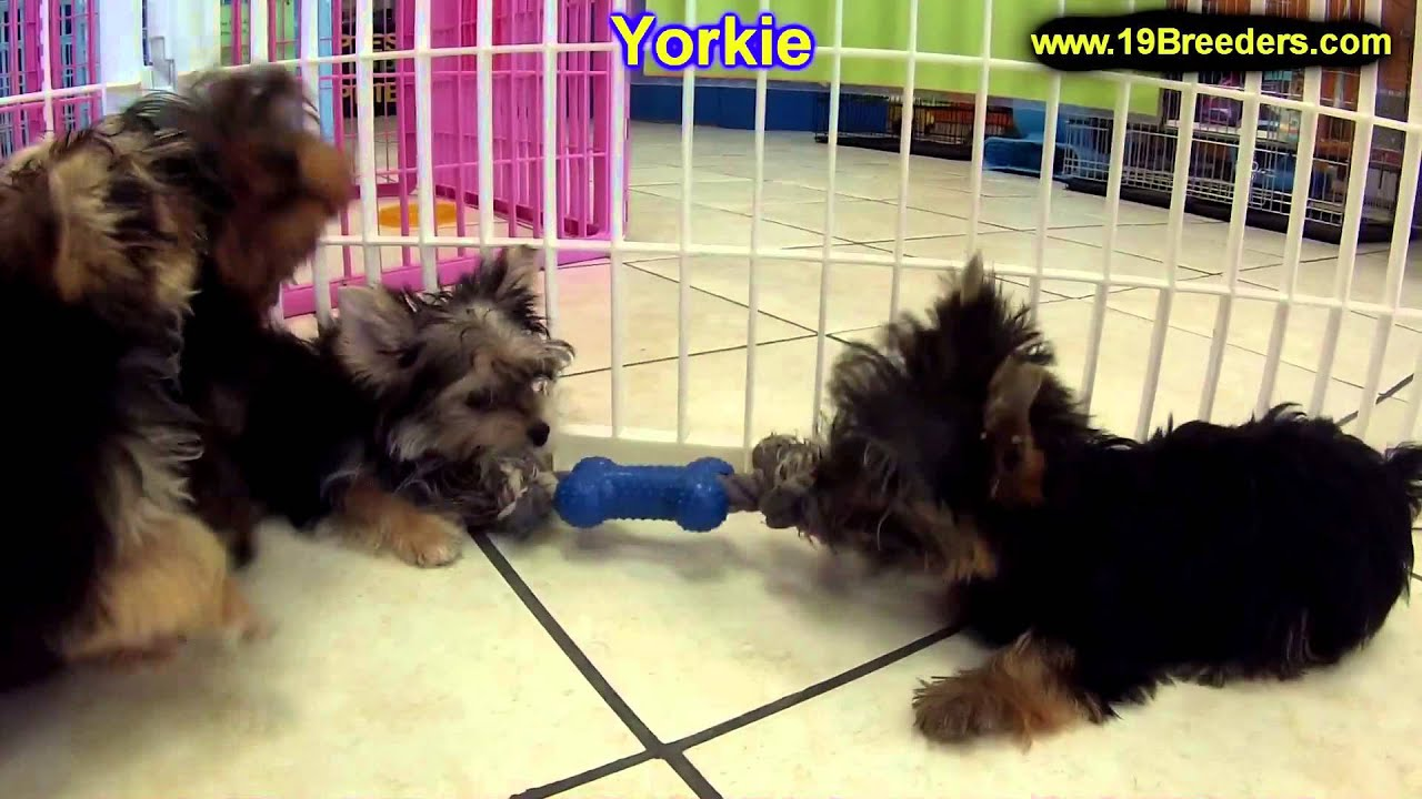 Yorkshire Terrier Yorkie Puppies Dogs For Sale In Phoenix