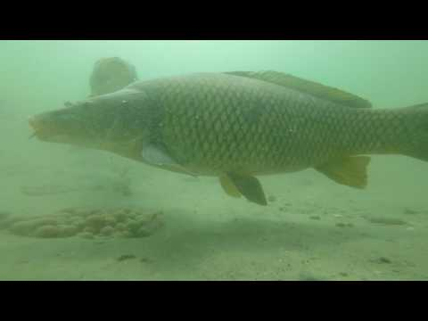 Underwater Carp Feeding At The Forest Lake Carps up to 30 kg