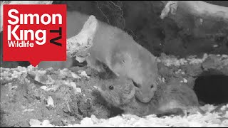 Mini killer shows awesome power! Rare footage of weasel killing voles