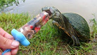 Turtles Love Popsicles!