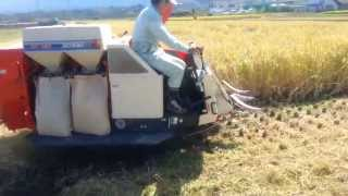 Rice Harvest in Japan!
