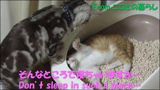 保護6日目‐#6 先輩猫のトイレで爆睡してたのがバレた後輩猫ラテ Don't s...