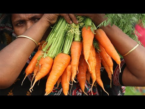 Village Food Farm Fresh Carrot Recipe village style Yummy Delicious Fresh Carrot Halwa Cooking