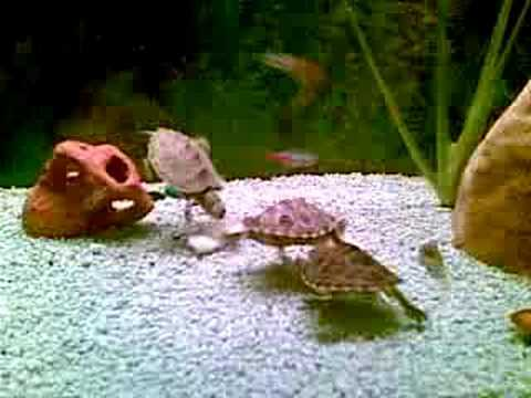 Convivenza tartarughe e pesci youtube for Tartarughe acquario