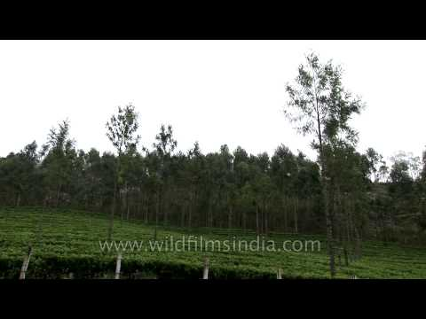 Spice and tea plantation in Kerala