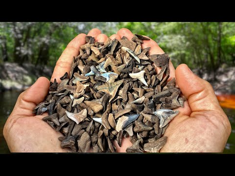 We Found Over A THOUSAND Shark Teeth In A Florida Swamp! - Fossil Hunting Challenge