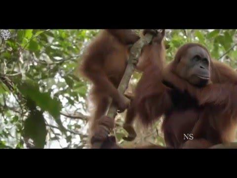 Orangotangos de Sumatra  [Documentários HD]