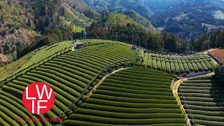 Japanese Green Tea: From Farm to Table