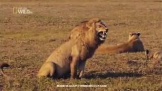 Video Lucu Banget, Hewan Lucu Singa Ketawa Ngakak (Funny Video) download MP3, 3GP, MP4, WEBM, AVI, FLV Oktober 2018