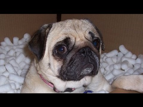 pug dog scared by fart youtube