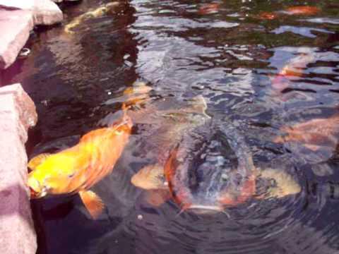 Fische im teich bei der paarung doovi for Aquarium fische im teich