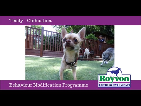 How to overcome Nervous Aggression in Chihuahua's