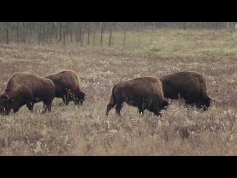 The Bison at Battelle Darby Creek Metro Park