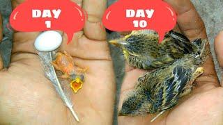 Merawat Anak Burung Usia 1 Hari Hingga Dewasa