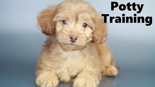 How To Potty Train A Mauxie Puppy - Moxie House Training Tips - Housebreaking Mauxie Puppies Fast