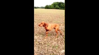 Vizsla On Point -hare Hunting- Anton Von Holzkaten Leads Me Over 30 Meters To An Hare