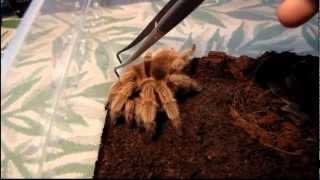 Grammostola rosea red form, zachowanie - Chilean rose tarantula behavior